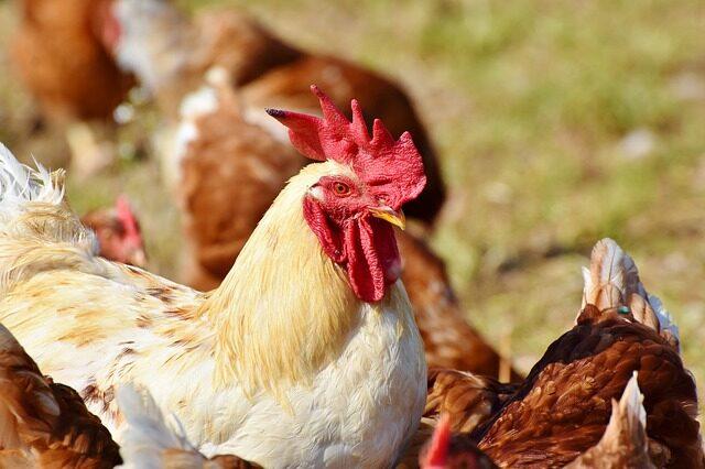 Poesia del gallo